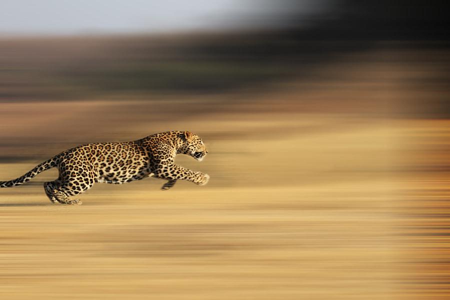 panning leopardo