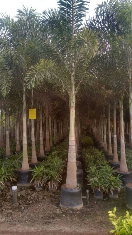 Nursery Plants And Trees Whole Supplier