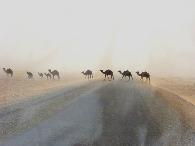 Camellos en la tormenta, abril 2005 - Susa