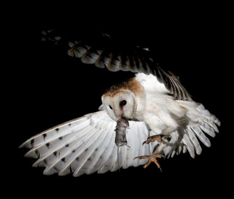 Barn owl ecology and rodent control
