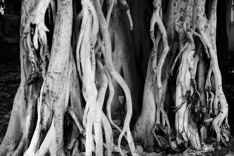 #Eingedi's tree