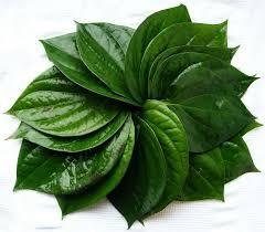 obat sipilis alami bahan daun sirih