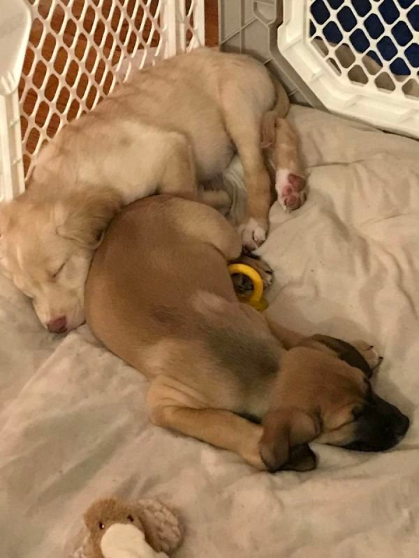 2 month old lab mix siblings