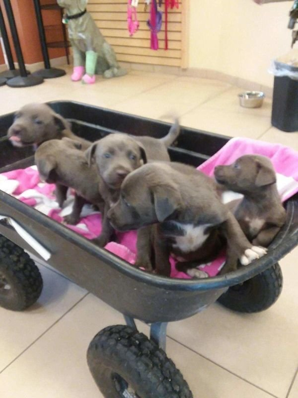 Blue nose 2 month old pups