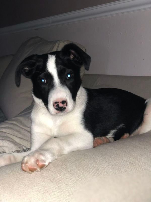 Moose 2 1/2 month old Border collie