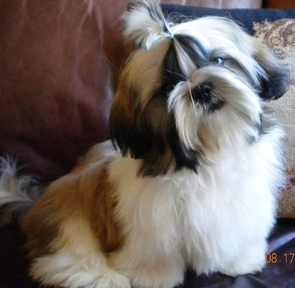 Shih Tzu Puppies for sale in the Dallas- Ft  Worth area of Texas