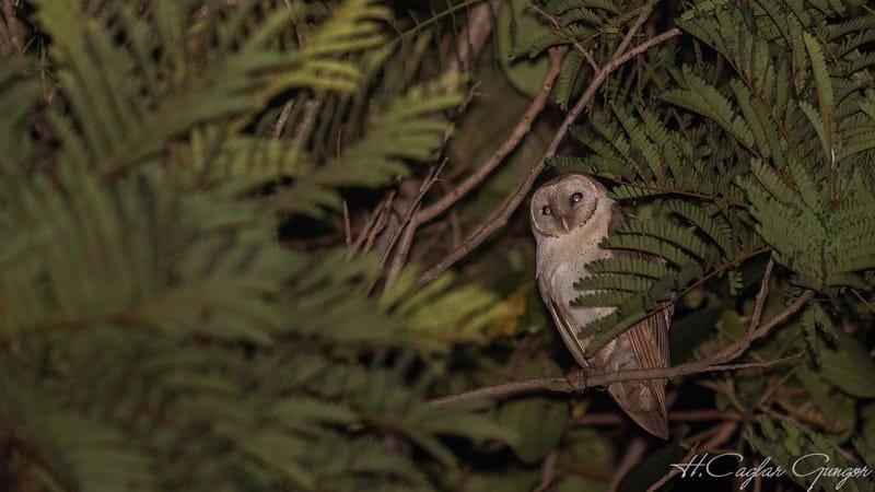 Barn Owl Hiding among Leaves At Night