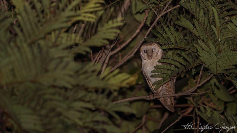 Barn Owl At Night Among Tree Branches