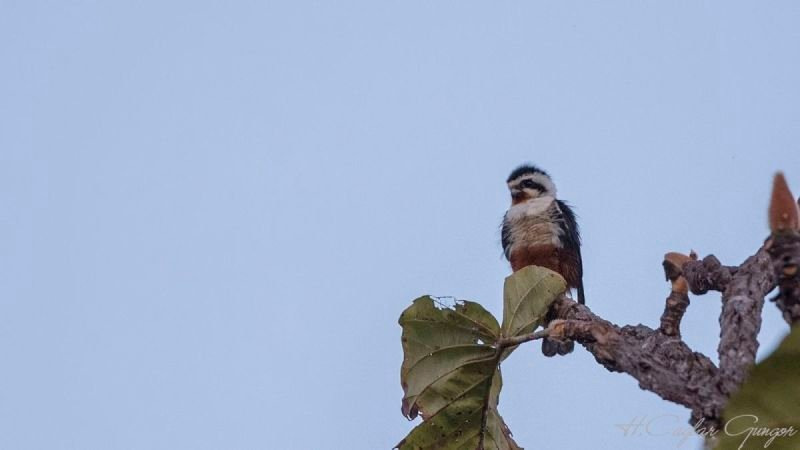 Collared falconet , Microhierax caerulescens, is perching on tree branch