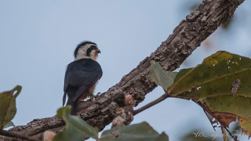 Collared Falconet on Tree Branch