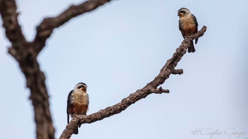 Two Collared Falconets on Tree Branch