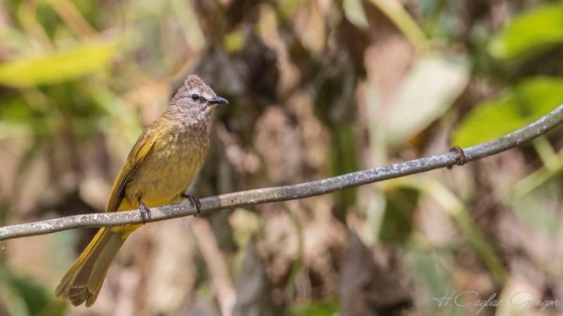 Flavescent Bulbul on Ivy Branch