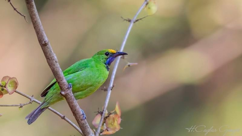 Golden-fronted Leafbird on Dry Branch
