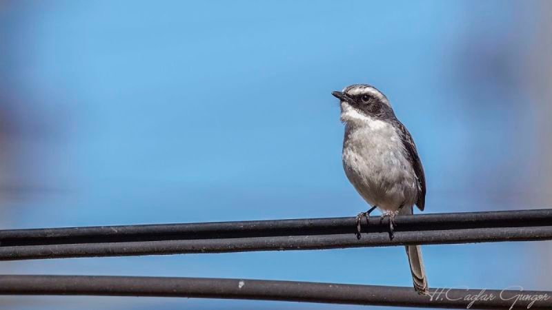 Gray Bushchat on Rubber Wire