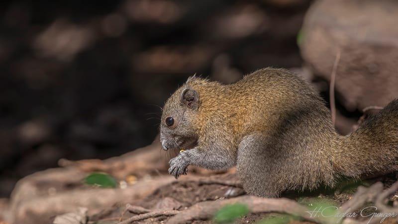 Grey-bellied Squirrel Feeding