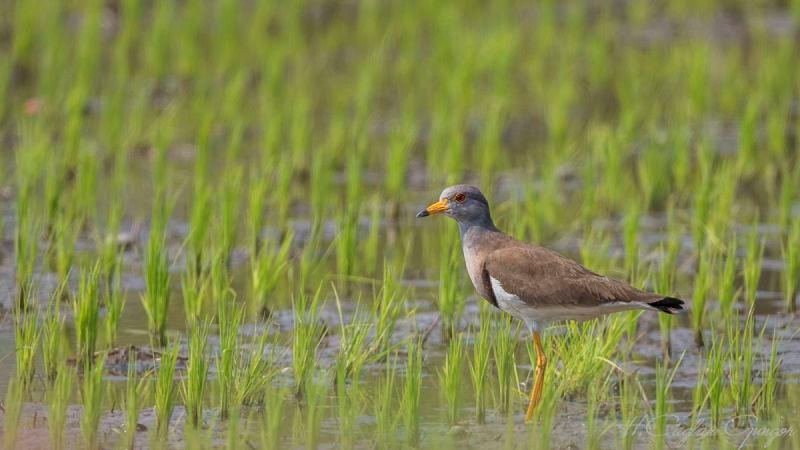 Grey-headed lapwing Wading on Pasture