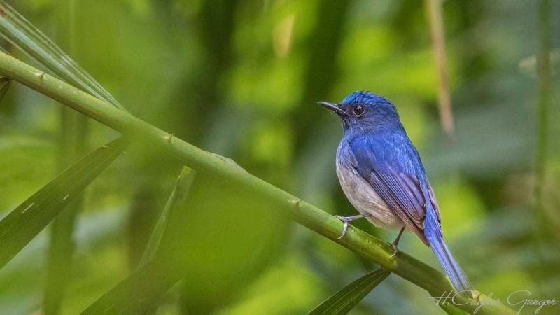 Hainan Blue Flycatcher on Green Bamboo