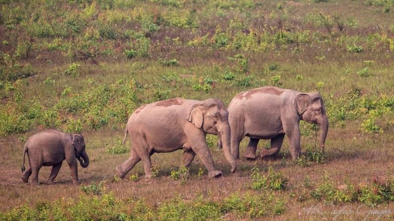 Indian Elephants with Baby in Meadow