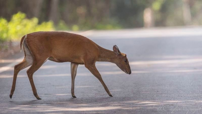Indian Muntjac on Road