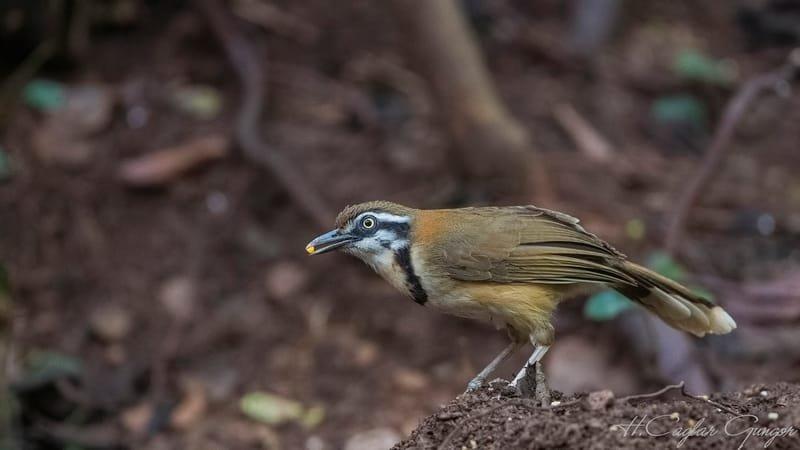 Lesser Necklaced Laughingthrush Feeding On Soil