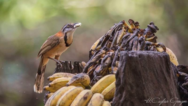 Lesser Necklaced Laughingthrush Eating Banana