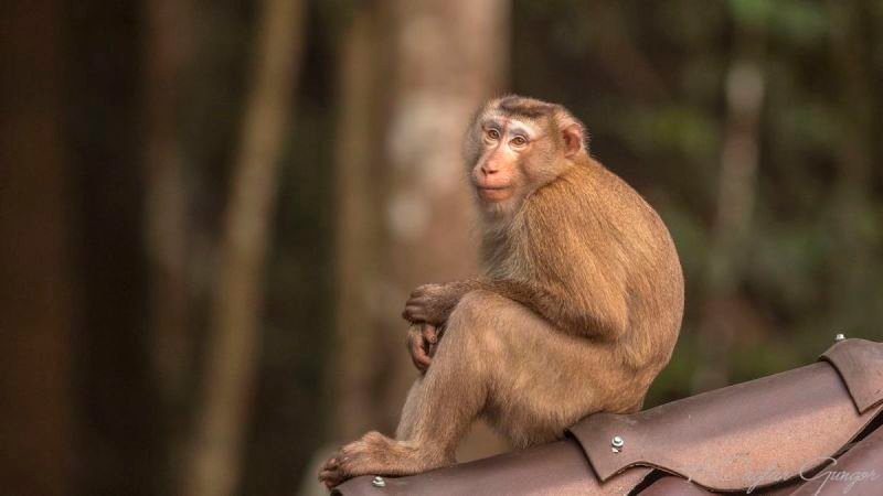 Macaque Sitting on Roof