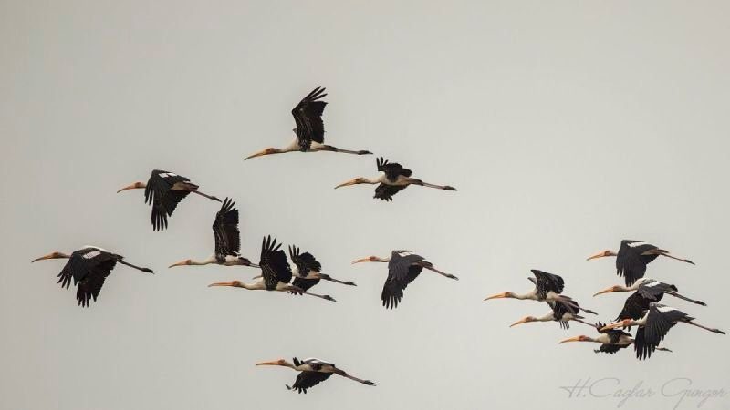 Flock of Painted Stork In Flight