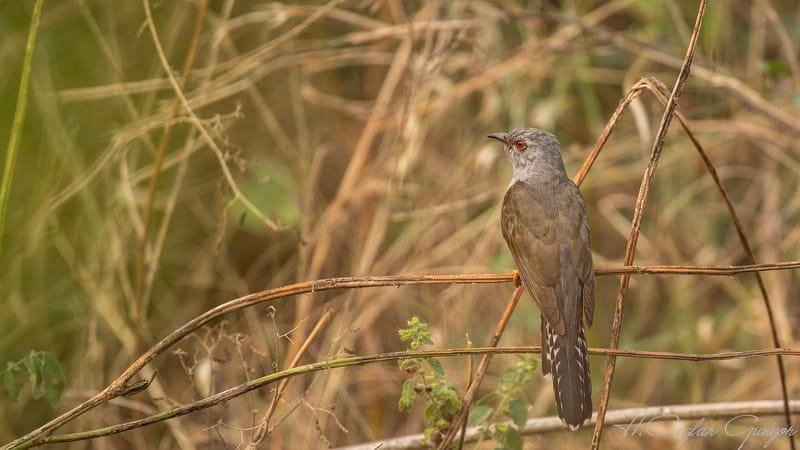 Plaintive Cuckoo on Ivy Branch