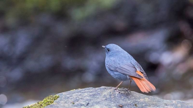 Plumbeous Water Redstart on Rock