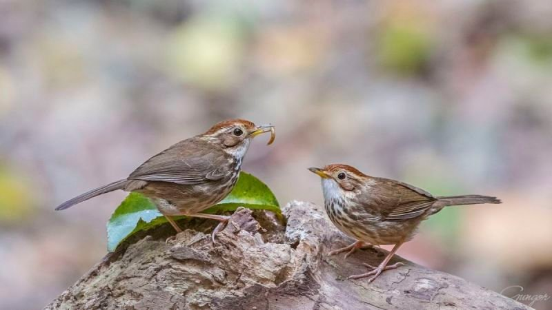 Puff-throated Babbler Eating Live Worm