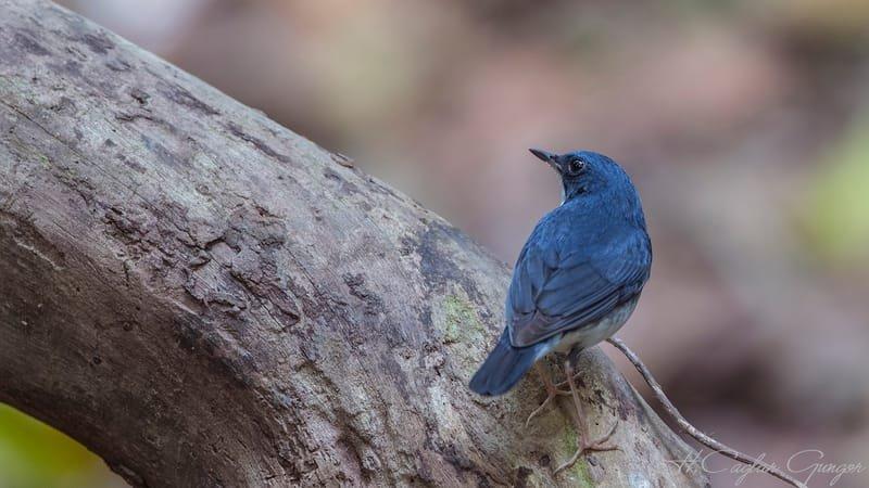 Siberian Blue Robin On Wooden Log