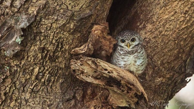 Spotted Owlet On Tree Hollow