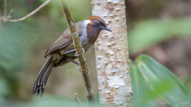 White-necked Laughingthrush On Tree Branch