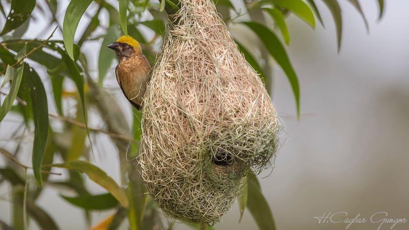 Baya weaver - Ploceus philippinus