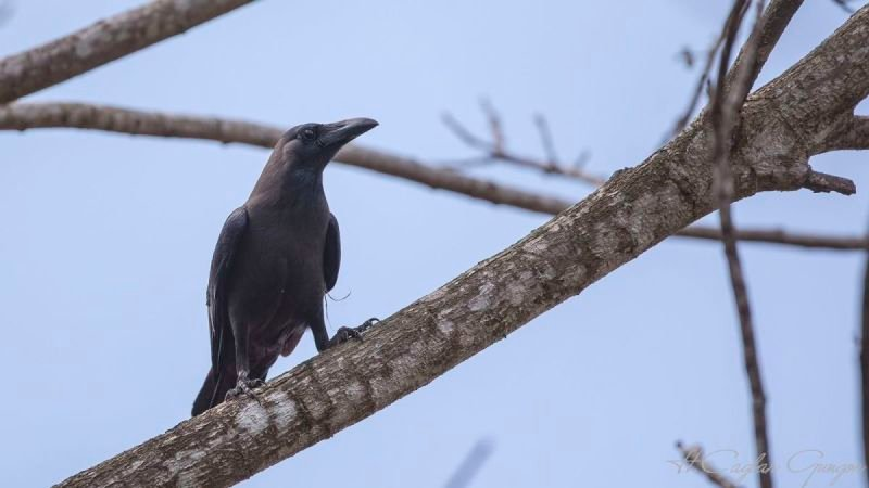 House Crow on Tree Branch