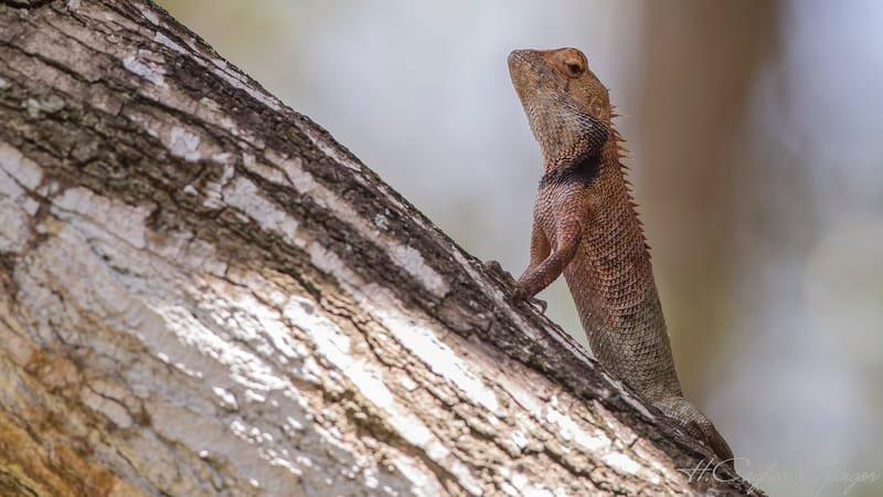 Oriental garden lizard - Eastern Garden Lizard Resting On Tree Trunk