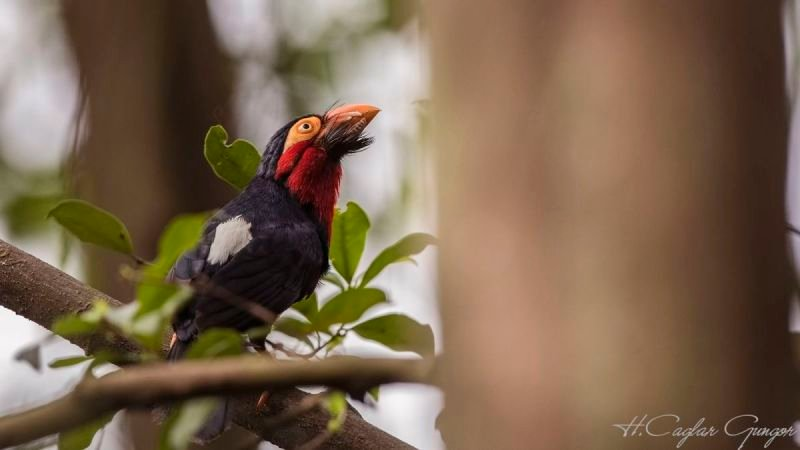 Double-toothed Barbet on Tree