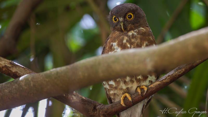 Brown Hawk-Owl on Tree Branch