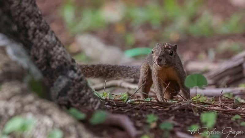 Grey-bellied Squirrel Wandering