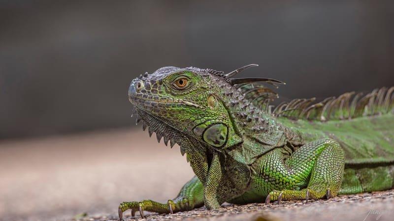 Green Iguana Sunbathing