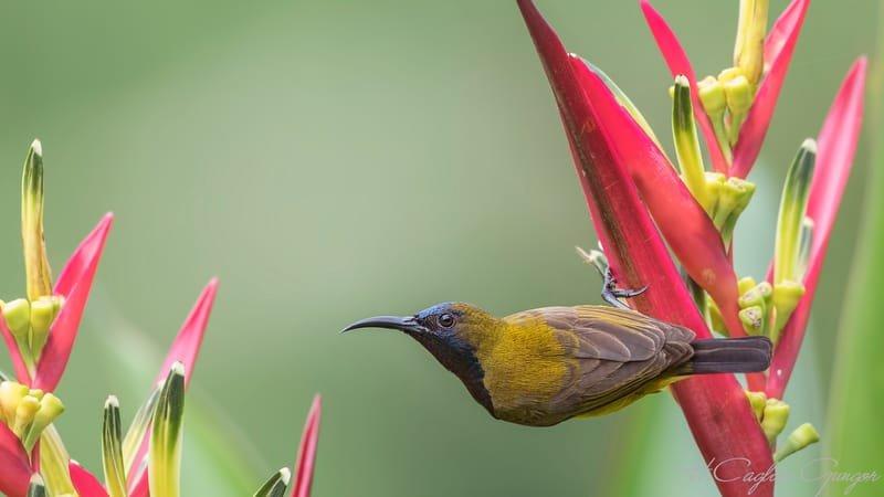 Olive-backed Sunbird Dangling on Flower