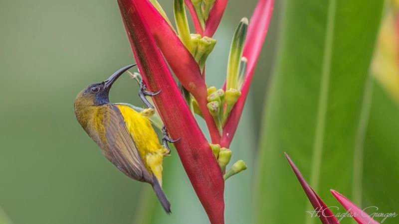Olive-backed Sunbird Feeding on Flower