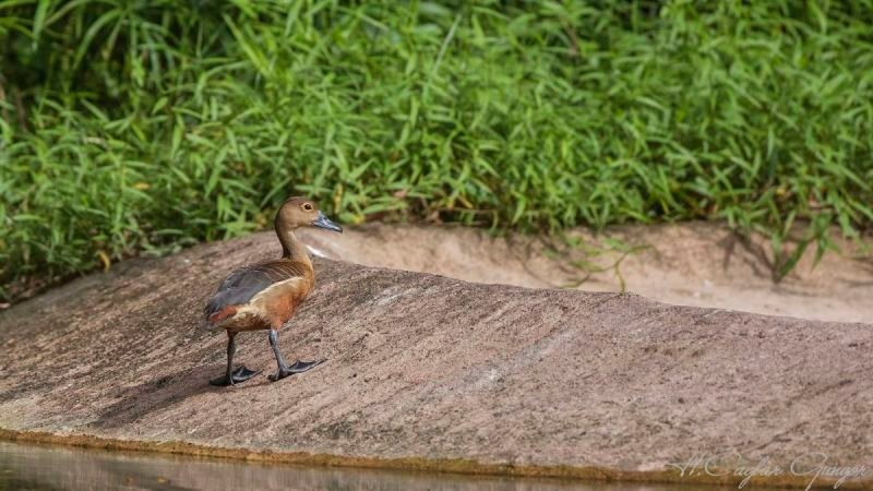 Lesser Whistling Duck on Concrete