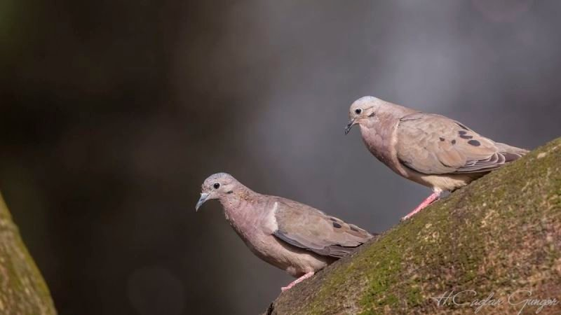 Red Collared Doves