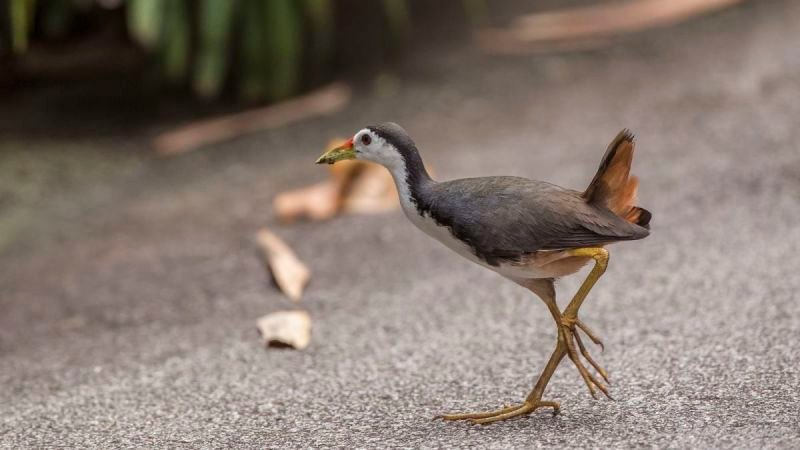 White-breasted waterhen on Road