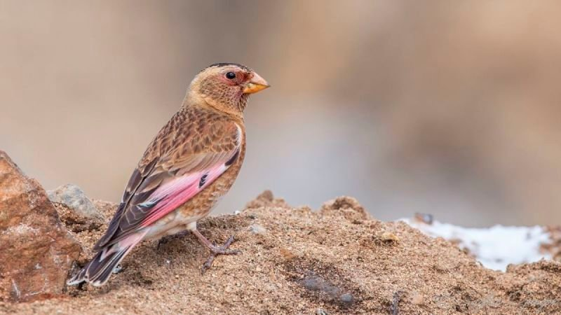 Eurasian Crimson-winged Finch - Rhodopechys sanguineus