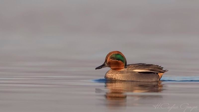 Lonely Male Common Teal Swimming Left