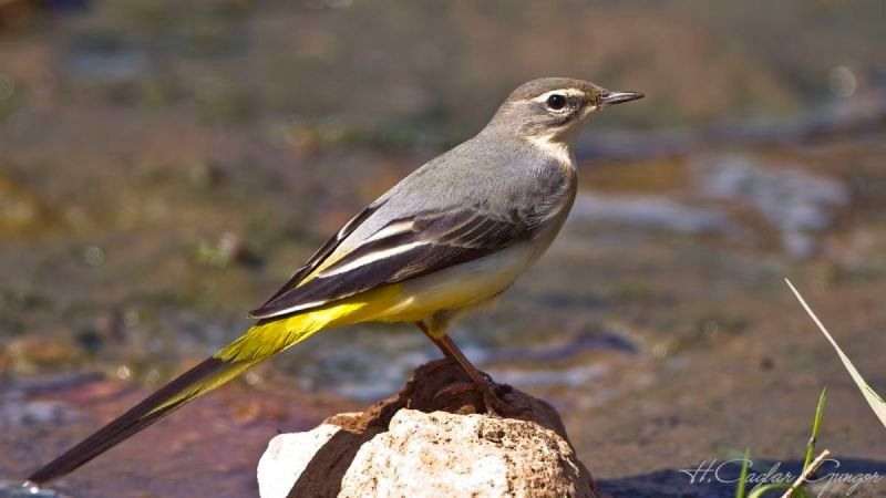 Grey Wagtail on Rock