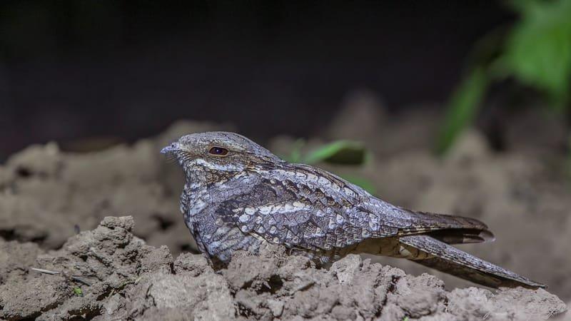 European Nightjar Cowering on Ground