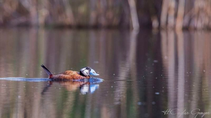 White-headed Duck on Clear Pond